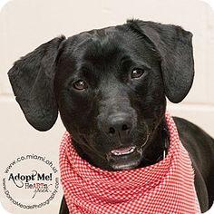 VERY URGENT!  I am at a kill shelter in Troy, OH - Labrador Retriever Mix. Meet Smokey, a dog for adoption. http://www.adoptapet.com/pet/12600472-troy-ohio-labrador-retriever-mix
