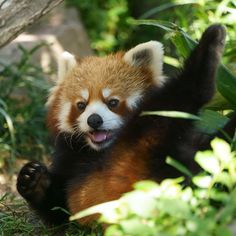 Jungle Animals, Animals And Pets, Baby Animals, Funny Animals, Cute Animals, Red Panda Cute, Panda Love, My Spirit Animal, Cute Creatures