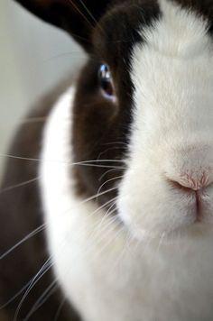 #dutch_rabbit
