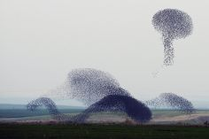 Delicious Dimension The murmurations of starlings