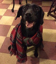 Ready for winter  #dogs #dogsofinsta #scarf #blackdog