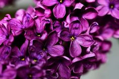 Want the most fragrant plant on earth in your garden? Learn about planting lilac bushes and how to grow them, including how to prune lilacs, and lilac care! Bushes And Shrubs, Lilac Bushes, Lilac Flowers, Purple Lilac, Wisteria How To Grow, Lilac Varieties, Propagate Succulents From Leaves, Syringa Vulgaris, English Garden Design
