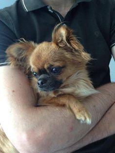 Chihuahua Harybo dans les bras de son papa :)