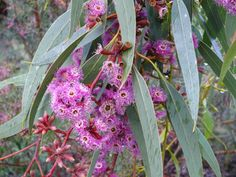 Eucalyptus Purple Patch --- For more Australian native plants visit… Australian Wildflowers, Australian Native Flowers, Australian Plants, Trees And Shrubs, Flowering Trees, Love Garden, Garden Ideas, Rain Garden, Garden Theme