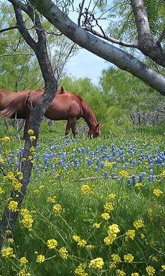 horse in bluebonnet field---looks just like a pasture close to my home!!!!!