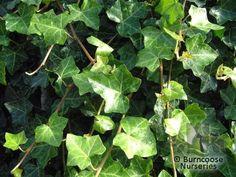 8. Hedera helix- klimop- let op gebruik alleen donkergroene blaadjes.