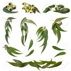 Find Collection Eucalyptus Leaves Gum Nuts Isolated stock images in HD and millions of other royalty-free stock photos, illustrations and vectors in the Shutterstock collection. Thousands of new, high-quality pictures added every day. Australian Flowers, Australian Plants, Australian Wildflowers, Stock Pictures, Stock Photos, Plant Pictures, Wreath Drawing, Leaf Drawing, Leaves Vector