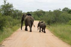 Elephants, Kruger National Park South Africa // Südafrika