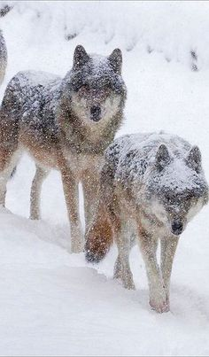 Grey wolves in heavy snowfall #wolf winter snow #by Fisherman01 #Snow