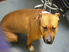 TO BE DESTROYED - 01/02/15 Brooklyn Center -P  My name is SAFARI. My Animal ID # is A1023855. I am a female brown and white am pit bull ter and amer bulldog mix. The shelter thinks I am about 2 YEARS old.  I came in the shelter as a STRAY on 12/22/2014 from NY 11207, owner surrender reason stated was STRAY.