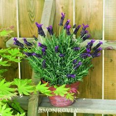 """Hazel™ Spanish Lavender. Full Sun, Evergreen. 30""""x24"""". Occassional water once established."""