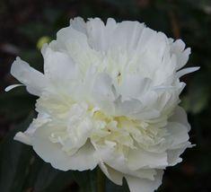 Duchesse de Nemours - White Double Peony/ Paeonia lactiflora - Kelways