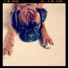 Awwww #boxer #dog puppy