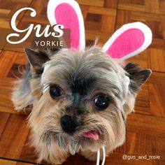 Who said boy's can't pull off pink?  Gorgeous Gus certainly looks adorable in his pink bunny ears!  They even match his, oh so cute, poking out tongue! #instagram #dogs #Gus