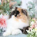 Online Kitten ApplicationUltra Rare Persian Kittens For Sale – (660) 292-2222 – Located in Northern Missouri (Shipping  Available)