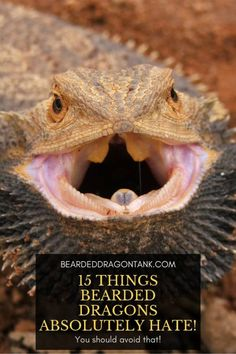 15 Things Bearded Dragons Absolutely Hate Bearded dragons are known for being very friendly and calm. However, there are things that bearded dragons absolutely hate! This article will show you 15 things they hate! Bearded Dragon Substrate, Bearded Dragon Vivarium, Bearded Dragon Enclosure, Bearded Dragon Terrarium, Bearded Dragon Habitat, Cute Bearded Dragon, Bearded Dragon Cage Ideas, Bearded Dragon Tank Setup, Bearded Dragon Food List