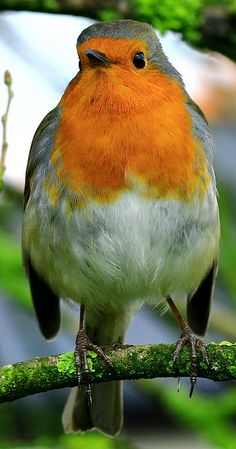 Red Robin - His greeting pose to me today. All Birds, Little Birds, Pretty Birds, Beautiful Birds, Animals And Pets, Cute Animals, European Robin, Robin Redbreast, Robin Bird