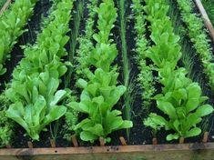 Container Gardening Vegetables, Vegetable Garden, Dream Garden, Celery, Herbs, Plants, Outdoor, Instagram, Garden Ideas