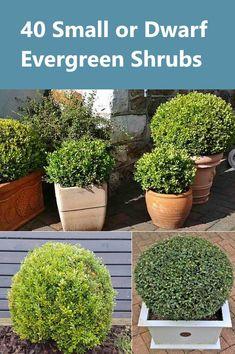 Dwarf Evergreen Shrubs, Evergreens For Shade, Evergreen Bush, Evergreen Landscape, Shade Evergreen, Dwarf Shrubs, Dwarf Trees, Small Garden Shrubs, Shrubs For Landscaping