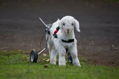 Frostie, Baby Goat Who Ditched His Wheelchair For Dancing, Is Cutest Thing To Hit The Internet