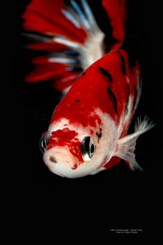 AquaBid.com - Item # fwbettashm1464658805 - Super Star Lionel Messi # Koi # By'Prince Of Betta - Ends: Mon May 30 2016 - 08:40:05 PM CDT- Closed Auction