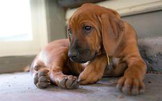 Download wallpapers 4k, Rhodesian Ridgeback, puppy, pets, cute animals, dogs, Rhodesian Ridgeback Dog