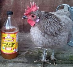 Apple Cider Vinegar 'Holistic Trinity' of Healthy Chickens: Garlic and Diatomaceous Earth. » The Homestead Survival