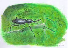 Perky weevil. hammatostylus sp.