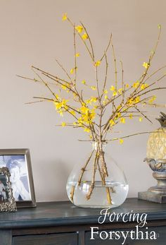Forcing Forsythia and Other Flowering Branches Bring in some early spring flowers by forcing branches inside the home. Shrubs are the easiest, especially forsythia, although flowering trees work too. Early Spring Wedding, Early Spring Flowers, Winter Flowers, Kwanzaa, Trees And Shrubs, Flowering Trees, Vase Deco, Spring Animals, Landscaping Trees