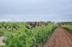 Entre Viñedos y Olivares - IV Primavera Enogastronómica 2016 - Ruta del Vino Ribera del Guadiana - Caminando entre Viñedos en Palacio Quemado