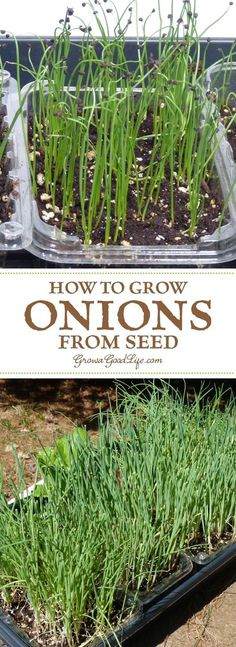 Growing onions from seed opens up a wide diversity of shapes, flavors, sizes, and colors to grow. Here are some tips on selecting varieties for your growing area and how to start onions from seed.