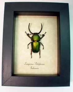 lamprima adolphinae, GREEN, STAG, REAL, BEETLE, DISPLAY,Indonesia
