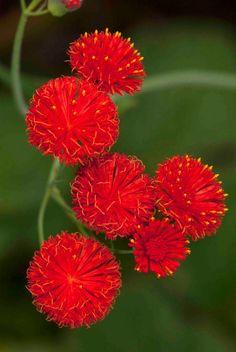 **Tassel flower (Emilia coccinea) 'Scarlet Magic'