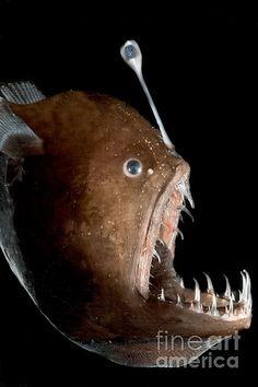 Johnson's Abyssal Seadevil, Melanocetus johnsonii, also known as the Humpback Anglerfish