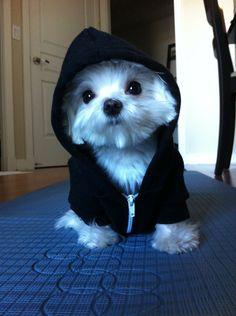 Button eyed Maltese puppy with a hoodie on. Cute Baby Animals, Animals And Pets, Funny Animals, Cute Dogs And Puppies, I Love Dogs, Doggies, Dog Pictures, Animal Pictures, Malteser
