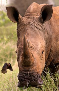 Africa | Red-billed oxpecker approaching White Rhino.  KNP, South Africa | ©Thomas Retterath