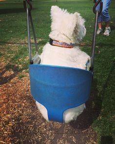 Happy #westiebuttwednesday from the swing set!!! #wbw #ilikebigbutts #dog #dogsofinstagram #dogs #dogstagram #doglover #dogoftheday #doggy #doglovers #dogslife #doglife #westie #westiegram #westiesofinstagram #westies #westielove #westiemoments #westiesarethebest #westiepuppy #westielover #westietude #westielife #ilovemydog #ilovemylife #instadog #instagramdogs #puppy #followme