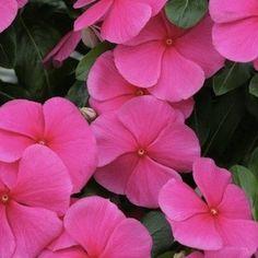 Viper Heat Elite Rose Vinca - Annual Flower