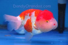 Japanese goldfish ... Looks like a dog huh lol