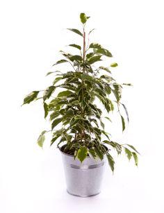 Ficus Golden King 40/50cm Deco Design, Decoration, Planter Pots, Rose, Taupe, Turquoise, Plants, Green, Dekoration