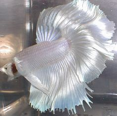Platinum rose tailed half moon betta