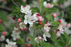 picture of wild crab apple blossoms | Flora and other Flowers