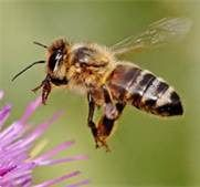 Reading an article proved to be very intriguing, honeybees, Rather the decrease in the bee population. Bees are very essential to agriculture & honey. Bees And Wasps, Bee Friendly, Bee Pollen, Bugs, Humming Bird Feeders, Bee Happy, Save The Bees, Busy Bee, Bees Knees