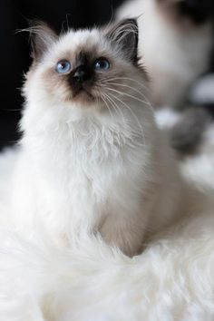Himalayan kitten- Just like my Chilly and Simba. RIP