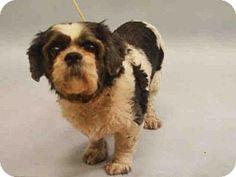 New York, NY - Shih Tzu Mix. Meet Uptown, a dog for adoption. http://www.adoptapet.com/pet/14559649-new-york-new-york-shih-tzu-mix