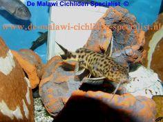 Synodontis Lucipinnis '' dwarf Petricola '' Tanganyika catfish http://www.de-malawi-cichliden-specialist.nl/page/de-malawi-cichliden-specialist