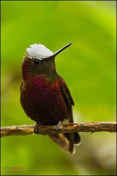 Snowcap hummingbird, Costa Rica, by Chris Jimenez