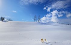 Three Trees|You can see fox's footprints!   Biei,Hokkaido,Japan.