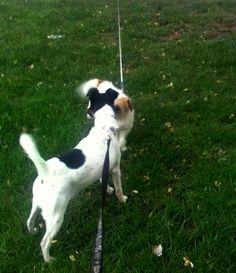 Dog walking: Twice a criar amizades :) -Fox Terrier pelo liso.
