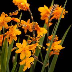 Certi Crocosmia Columbus, oranje, bloemen, boeket, Certi #Bloemen, #Planten, #webshop, #online bestellen, #rozen, #kamerplanten, #tuinplanten, #bloeiende planten, #snijbloemen, #boeketten, #verzorgingsproducten, #orchideeën